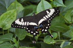 Empereur Swallowtail Image stock