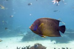 Emperor. Brown Yellow Spotted Angelfish in clear water Royalty Free Stock Photo