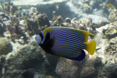 Emperor. Angelfish in front of coral reef Stock Photo