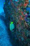 Emperor Angel fish, sea life, Maldives underwater. The emperor angelfish (Pomacanthus imperator), Maldives royalty free stock photos
