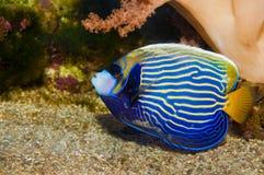 Emperor Angelfish. (Pomacanthus imperator) in Aquarium royalty free stock photos