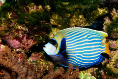 Emperor Angelfish Royalty Free Stock Photos