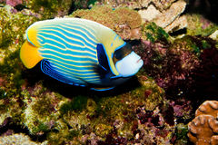 Emperor Angelfish. (Pomacanthus imperator) in Aquarium royalty free stock image