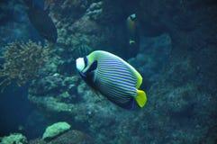 Emperor Angelfish. A Single Emperor Angel Fish Stock Photo