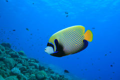 Emperor Angelfish. (Pomacanthus imperator) on a coral reef stock photos