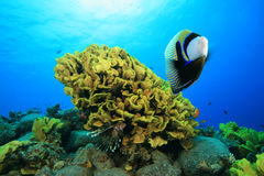 Emperor Angelfish. (Pomacanthus imperator) on a coral reef royalty free stock photo