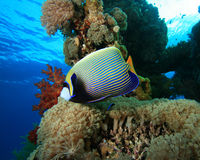 Emperor Angelfish Royalty Free Stock Photo