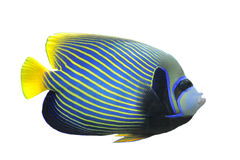Emperor Angelfish. (Pomacanthus imperator) Isolated on white background stock image