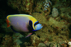 Emperor Angelfish. (Pomacanthus imperator) on a coral reef stock images