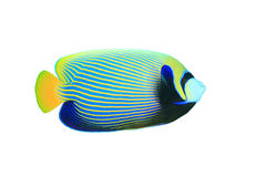 Emperor Angelfish Stock Photography