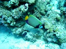 Emperor angelfish. (Pomacanthus imperator) in his natural environment Royalty Free Stock Photography