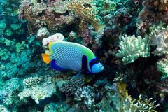 Emperor angelfish. (Pomacanthus imperator) in the Red Sea, Egypt stock image