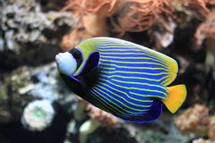 Emperor angelfish. The emperor angelfish (pomacanthus imperator royalty free stock photo