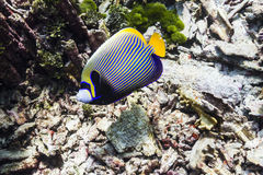 Emperor angelfish Stock Photo