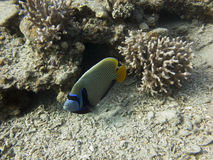The emperor angelfish. It is a reef-associated fish The emperor angelfish Pomacanthus imperator royalty free stock image
