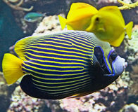 Emperor angelfish 3 Royalty Free Stock Image