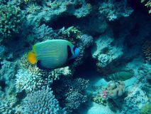 Emperor angelfish Stock Images