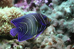 Emperor Angelfish Royalty Free Stock Image