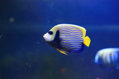 Emperor Angelfish. The adult Emperor Angelfish, also called the Imperator Angelfish, has a bold, blue body covered with bright yellow horizontal stripes Royalty Free Stock Image