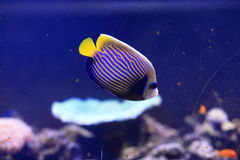 Emperor Angelfish. The adult Emperor Angelfish, also called the Imperator Angelfish, has a bold, blue body covered with bright yellow horizontal stripes royalty free stock photos