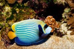 Emperor Angelfish in Aquarium. Emperor Angelfish (Pomacanthus imperator) in Aquarium royalty free stock images