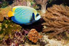 Emperor Angelfish in Aquarium Royalty Free Stock Photos