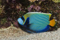 Emperor Angelfish in Aquarium Royalty Free Stock Photo