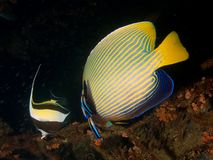 Emperor angelfish & Bluestreak Cleaner Wrasse Stock Photo