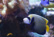 Emperor Angelfish. Close up of an emperor angelfish & x28;Pomacanthus imperator& x29 Royalty Free Stock Image