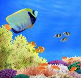 Emperor Angelfish at a colorful coral reef Royalty Free Stock Photo