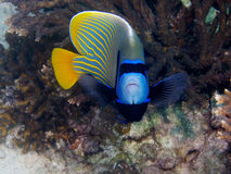 Emperor angelfish Stock Images