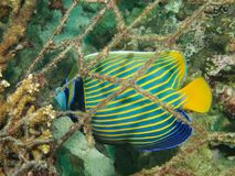 Emperor angelfish & ghost fishing net. Beautiful Emperor angelfish, Pomacanthus imperator, trapped behind fishing net, discarded after it snagged on and damaged royalty free stock image