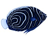 Emperor angelfish illustration illustration. Emperor angelfish juvenile, Pomacanthus imperator, vector isolated on a white background, tropical reef fish Royalty Free Stock Photo
