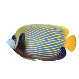 Emperor Angelfish. Isolated on white background stock photos