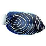 Emperor Angelfish on Isolated. White Background. illustration royalty free illustration