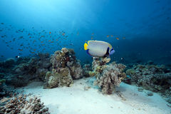 Emperor angelfish and ocean Stock Images