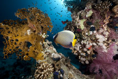 Emperor angelfish and ocean. Taken in the Red Sea Royalty Free Stock Photo