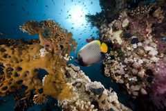 Emperor angelfish and ocean. Taken in the Red Sea Royalty Free Stock Photos