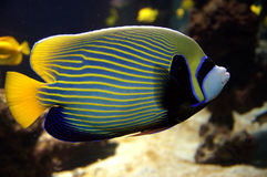 Emperor angelfish. & x28;Pomacanthus imperator& x29;  against a coral reef Royalty Free Stock Photography