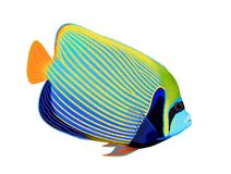 Emperor angelfish (Pomacanthus imperator) Stock Image