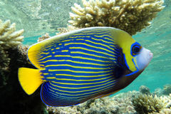 Emperor angelfish - Pomacanthus imperator Royalty Free Stock Image