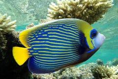 Emperor angelfish - Pomacanthus imperator. Emperor angelfish (Pomacanthus imperator),coral reef royalty free stock image