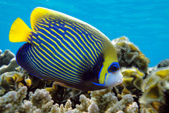 Emperor angelfish - Pomacanthus imperator. Emperor angelfish (Pomacanthus imperator),coral reef stock photo