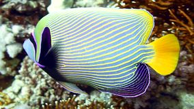Emperor Angelfish Pomacanthus imperator on Coral Reef. In Red Sea stock footage