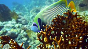 Emperor Angelfish Pomacanthus imperator on Coral Reef. In Red Sea stock video footage
