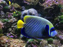 Emperor angelfish Pomacanthus imperator stock images