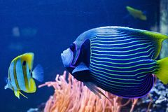 Emperor angelfish Pomacanthus imperator. royalty free stock images