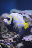 Emperor angelfish or Pomacanthus imperator fish. stock image