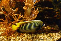 Emperor angelfish Pomacanthus imperator in habitat. Emperor angelfish Pomacanthus imperator in their habitat royalty free stock photos