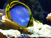 Emperor angelfish (Pomacanthus imperator) Royalty Free Stock Photo